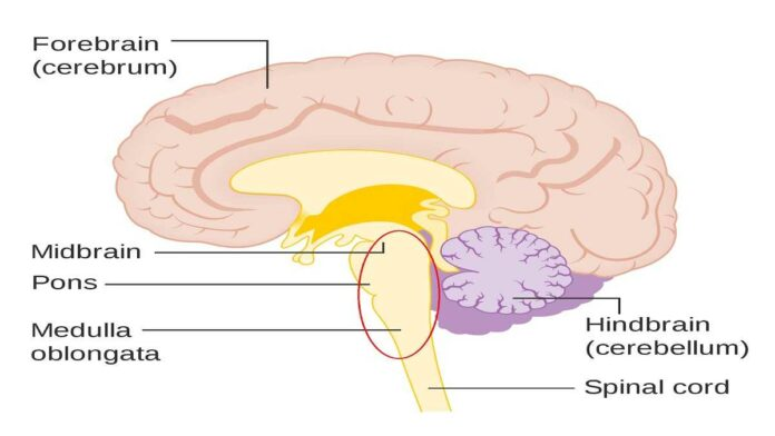 Fungsi Otak Tengah, Bagian Otak Terkecil dan Berada di Tengah